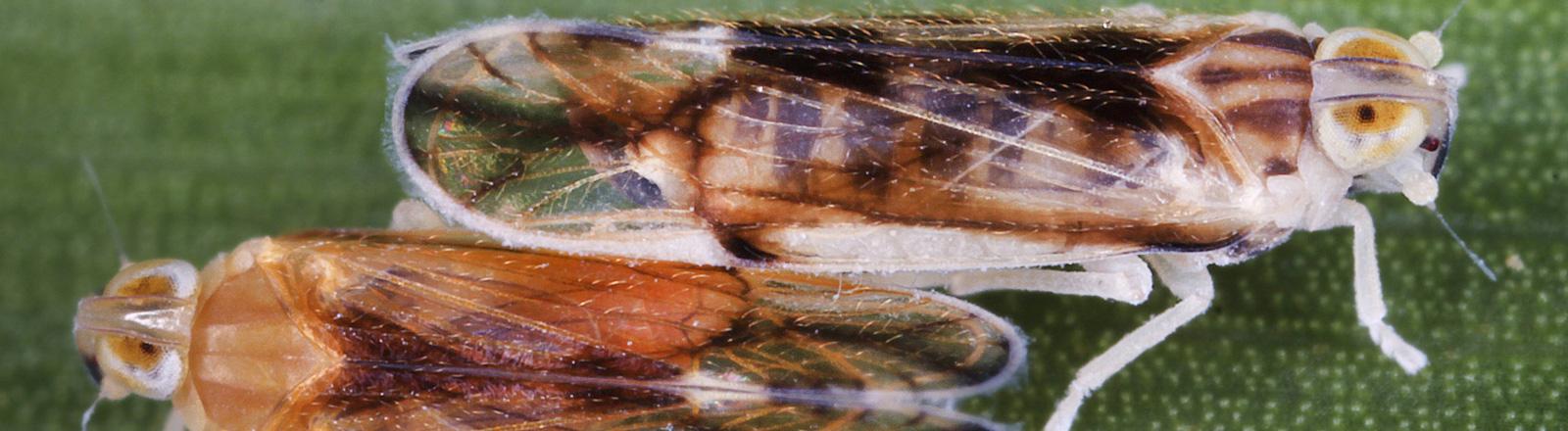 Zwei Zikaden auf einem Blatt