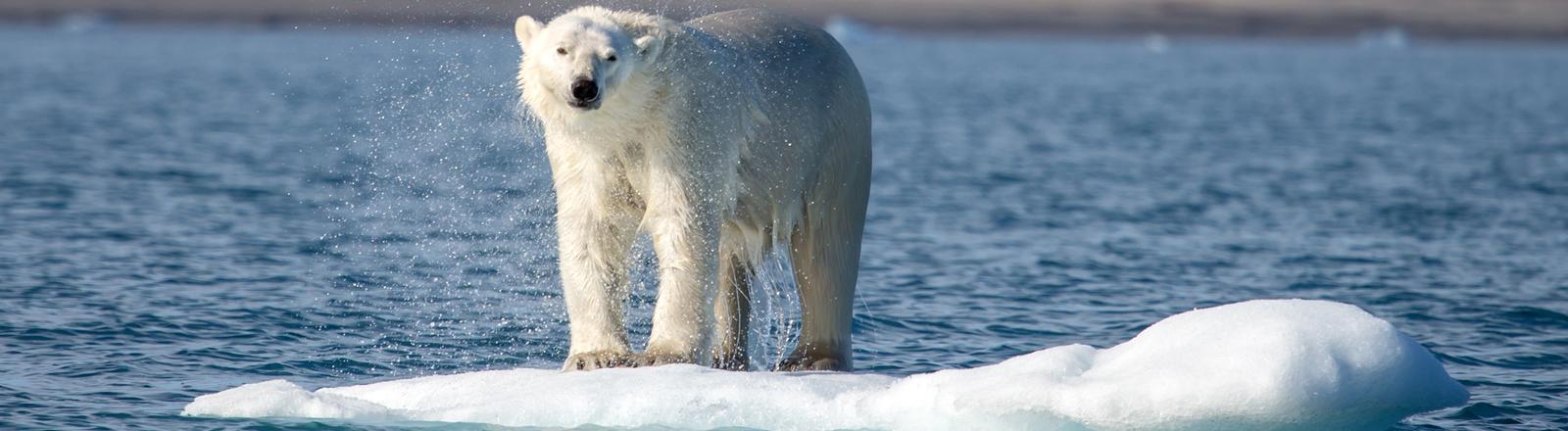 Eisbär auf einer Eisscholle
