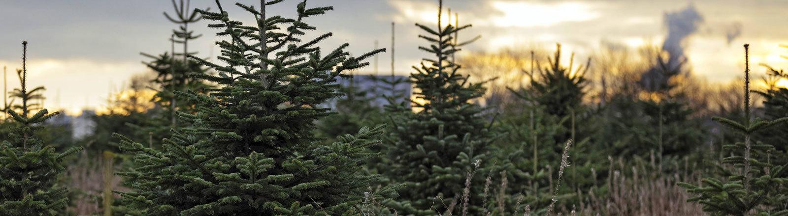 Tannenbäume auf einer Kölner Weihnachtsbaum-Plantage