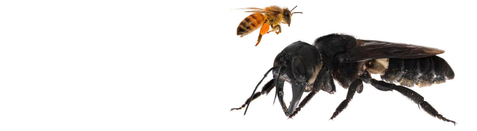 Eines der ersten Bilder der Wallace-Riesenbiene - sie wird etwa viermal so groß wie eine europäische Honigbiene.