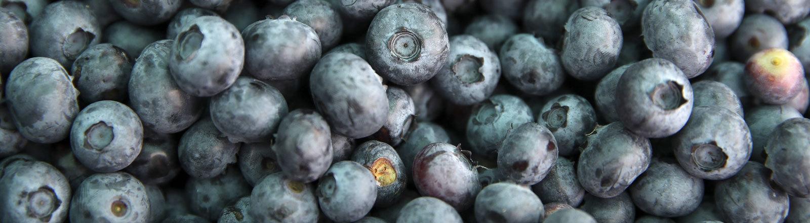 BREST REGION, BELARUS - JULY 8, 2019: Bog blueberry harvested in a field of the BelYagDar farm in the village of Krasynichy, Gantsavichy District.