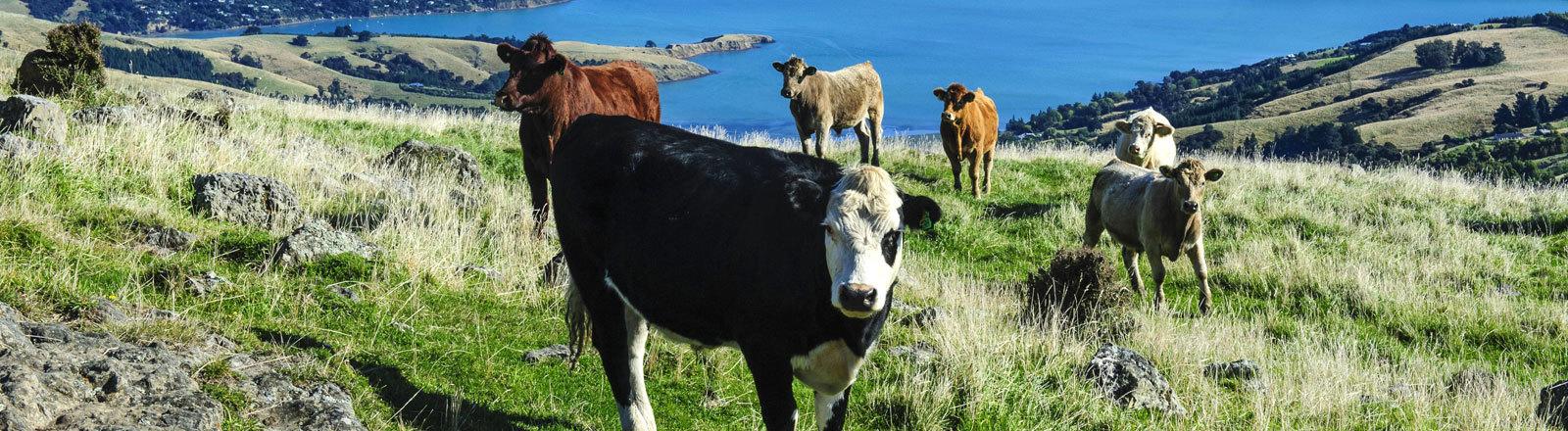 Kühe grasen über dem Hafen von Akaroa auf der Südinsel in Neuseeland.