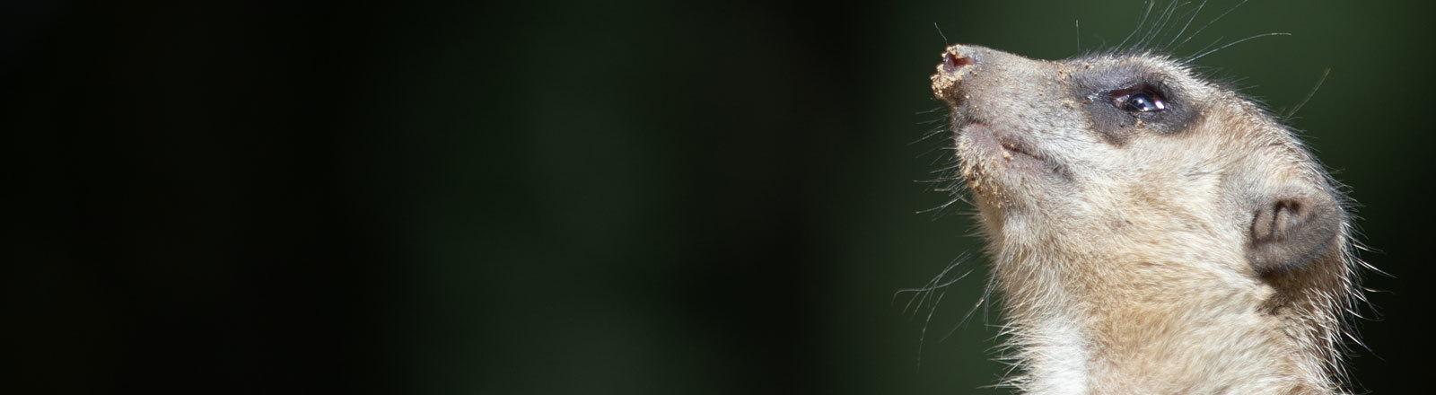 Erdmännchen