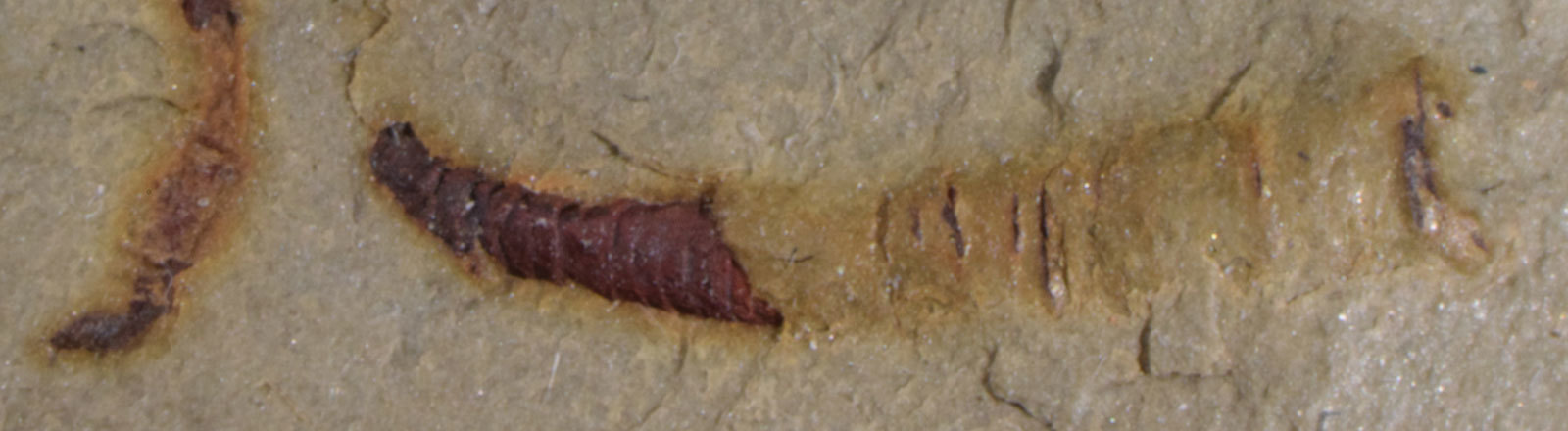 A fossilized cloudinomorph from the Montgomery Mountains near Pahrump, Nevada. This is representative of the fossil that was analyzed in a study, done by the University of Missouri, published in 2020.
