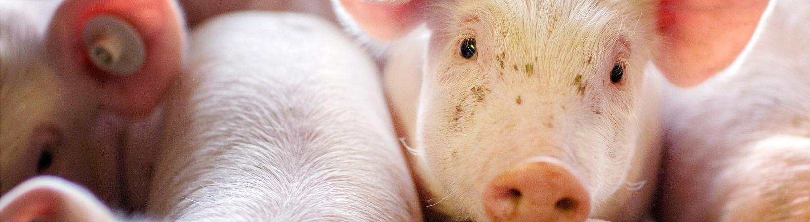 Ferkel stehen in einer Box in einer Schweinezuchtanlage