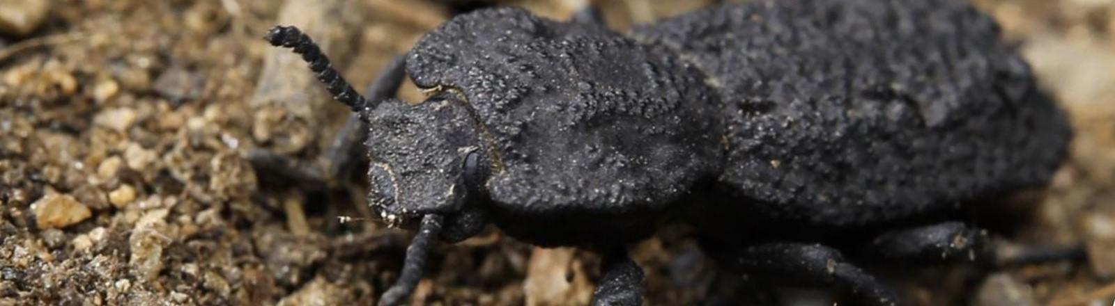 Käfer, Ironclad