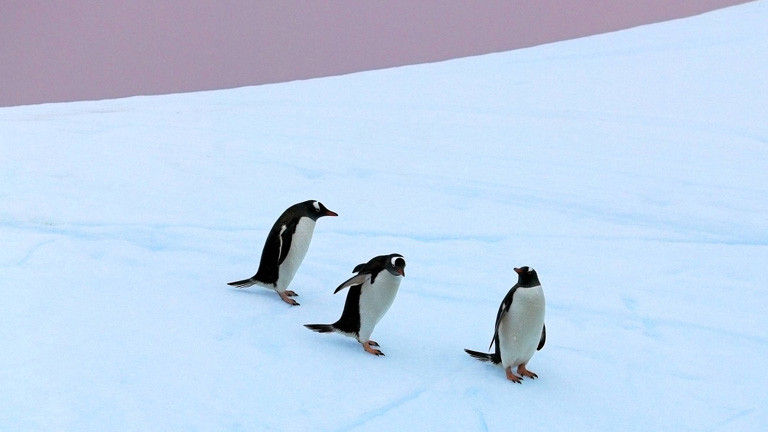Pinguine kriegen unsere Keime ab