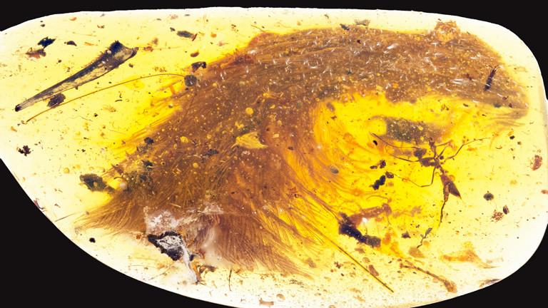 Ein Dinosaurierschwanz mit Federn, eingeschlossen in einem Bernsteinklumpen.