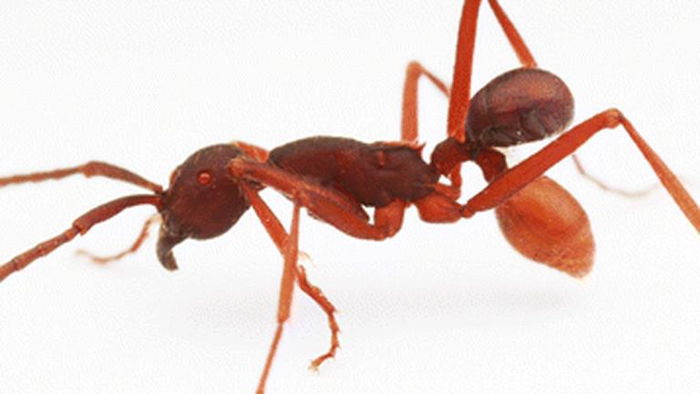 Ameise mit verstecktem Käfer auf dem Hintern