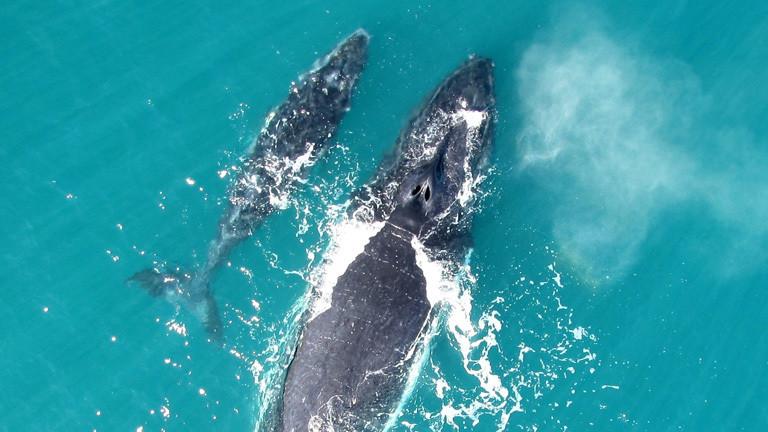 Drohne zeigt, wie Wale fischen