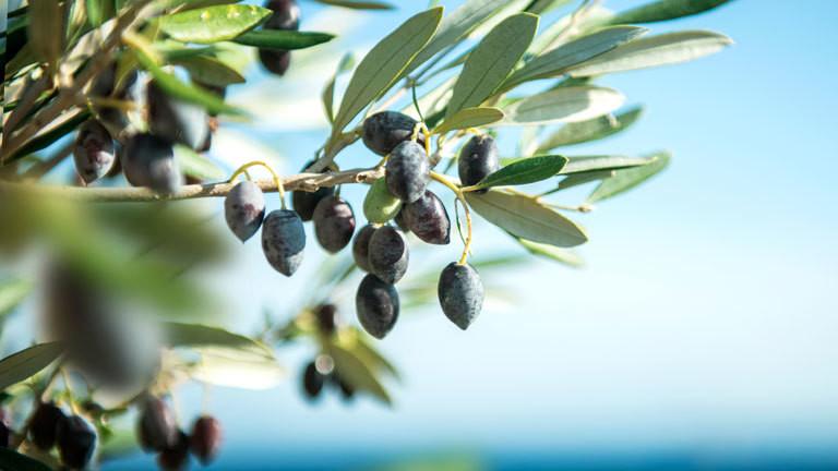 Olivenbäume sterben