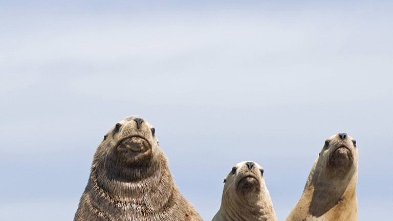 Wieder mehr Robben