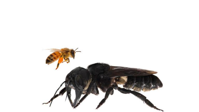 Riesenbiene Deutschland