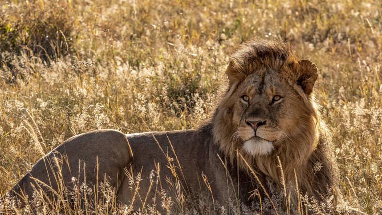US-Jäger darf Löwen-Trophäen behalten