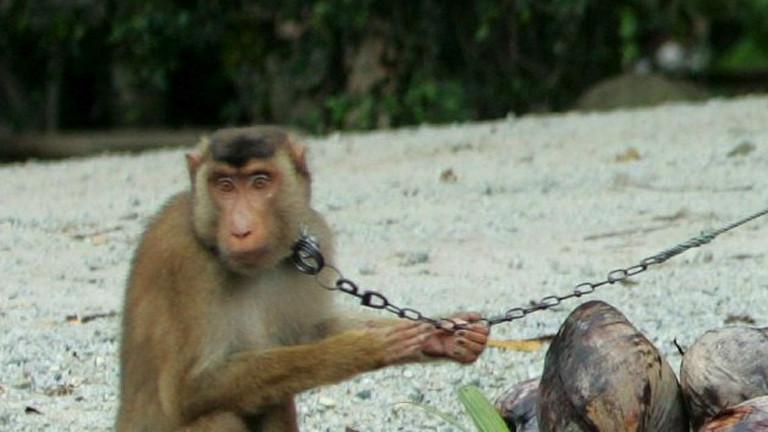 Streit über Einsatz von Affen auf Plantagen