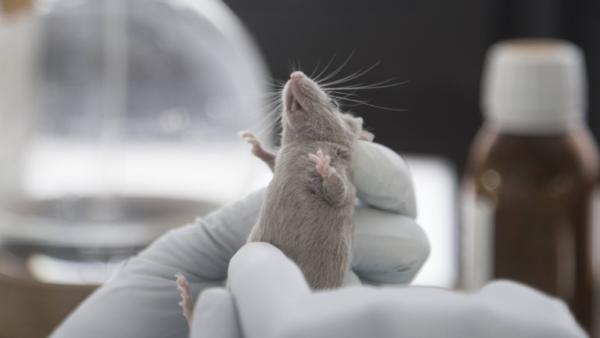 Tierversuch an einer Maus