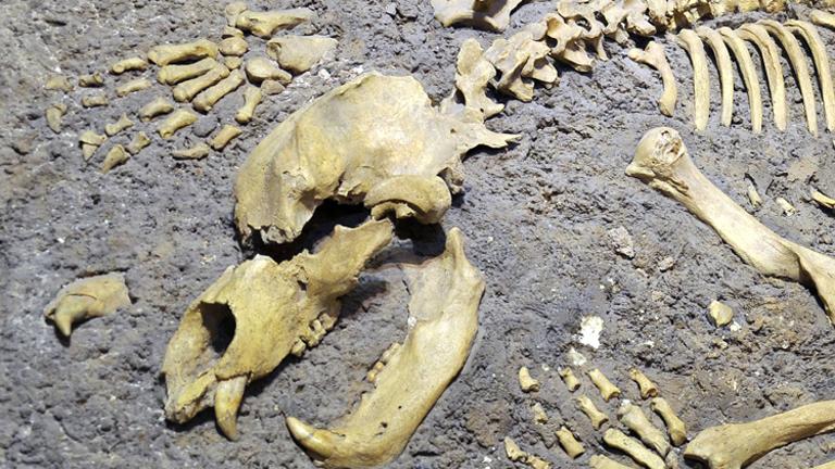 Skelett eines Höhlenbären