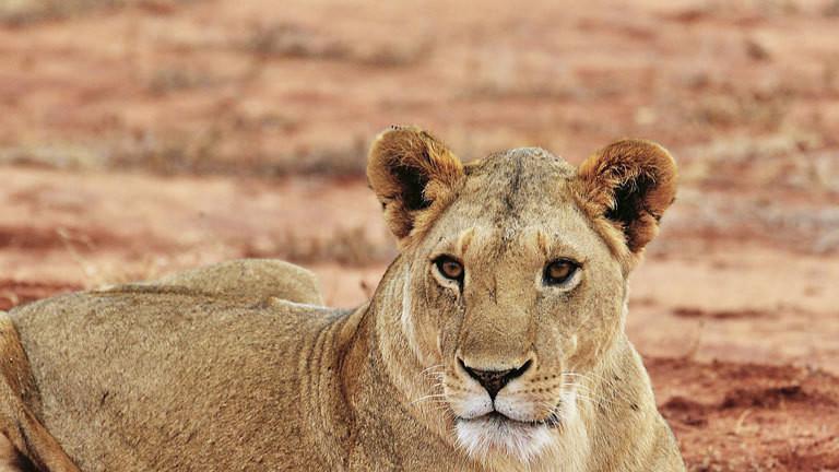 Löwe im Tsavo-Park