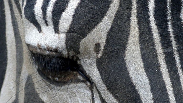 Zebra aus dem Zoo von San Salvador
