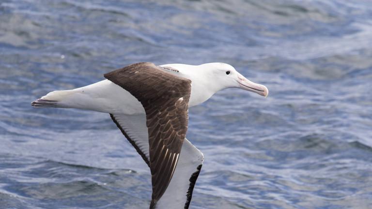 Ein fliegender Albatros