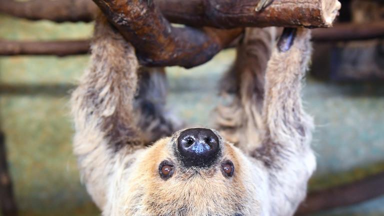 Faultier Paula im Zoo von Halle (Saale), das älteste der Welt.