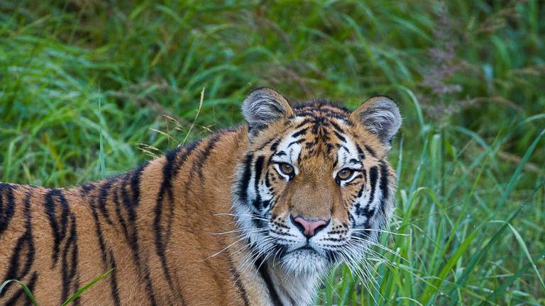 Sibirischer Tiger auf einer Wiese