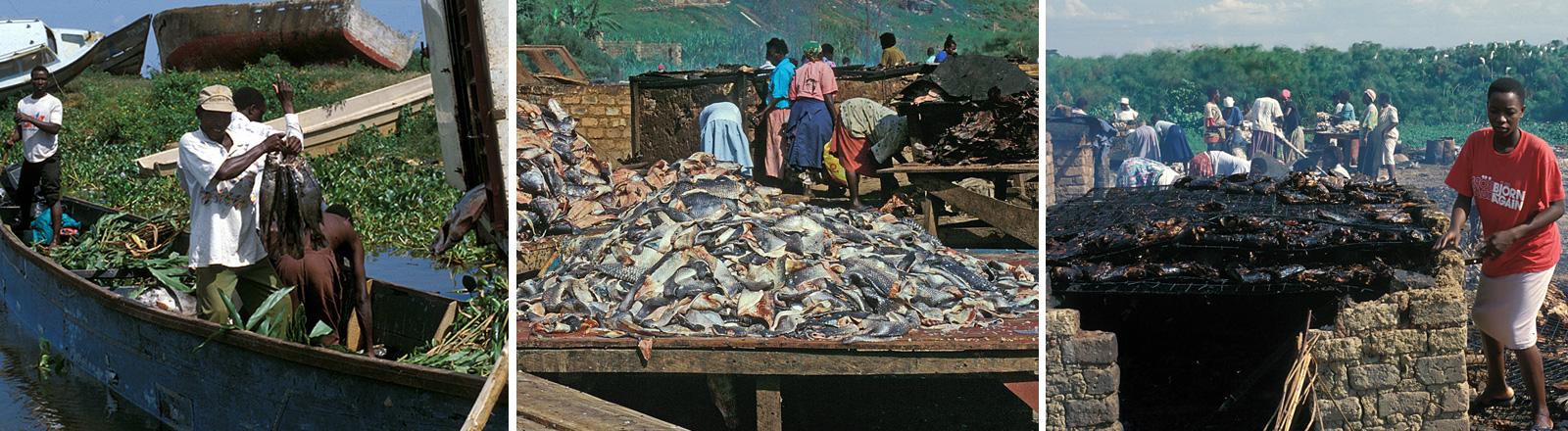 Nilbarsche in Uganda am Victoriasee