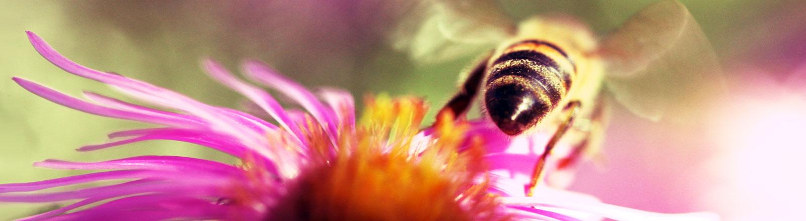 Eine Biene fliegt von einer Blüte los.