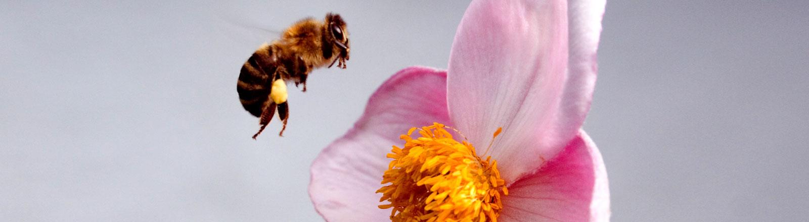Eine Biene im Landeanflug auf eine Blüte