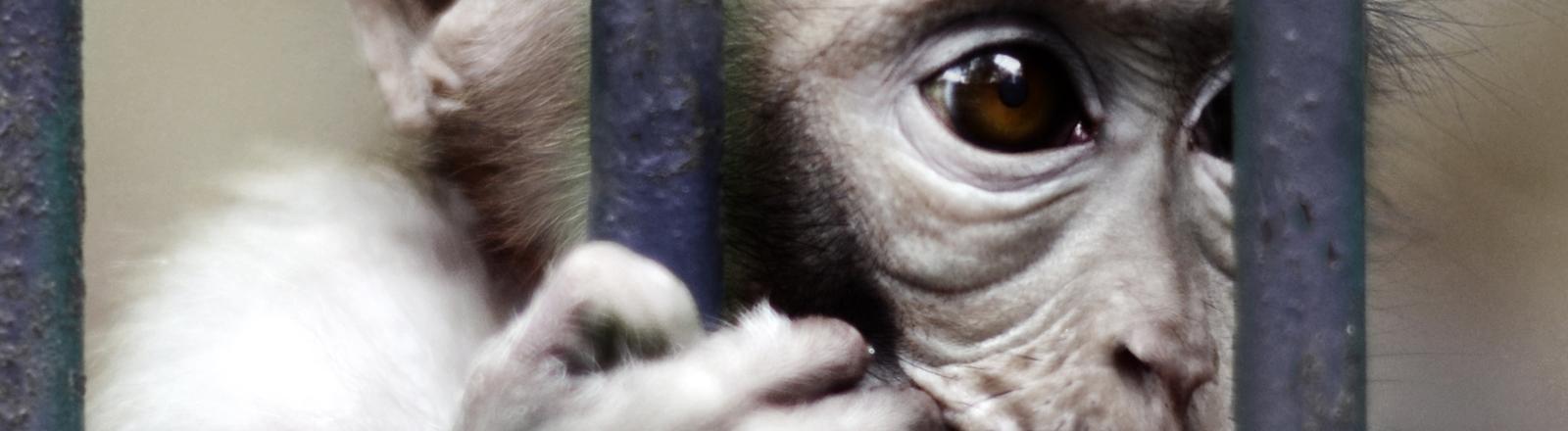 Ein Äffchen klammert sich an seine Gitterstäbe im Zoo.