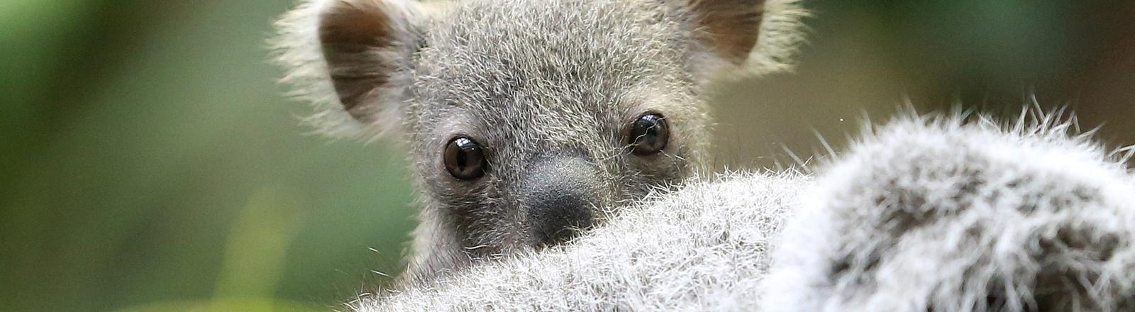 Das rund sechs Monate alte noch namenlose Koala Baby sitzt am 22.01.2014 im Zoo in Duisburg auf dem Kopf seiner Mutter