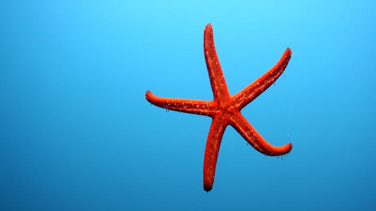Ein roter Seestern vor blauem Hintergrund