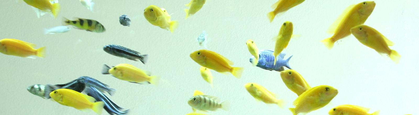 Ein Schwarm gelber Fische und Zebrafische in einem Aquarium