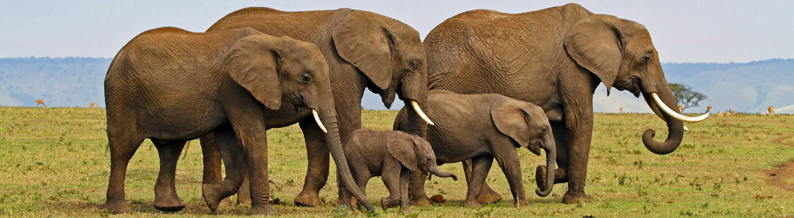 In einem Nationalpark in Kenia spaziert eine Elefantenherde. Drei ausgewachsene und zwei kleinere Elefanten.