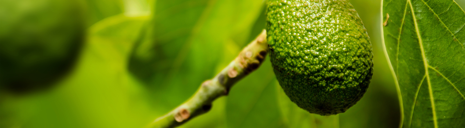 Eine Avocado, die am Bum hängt.