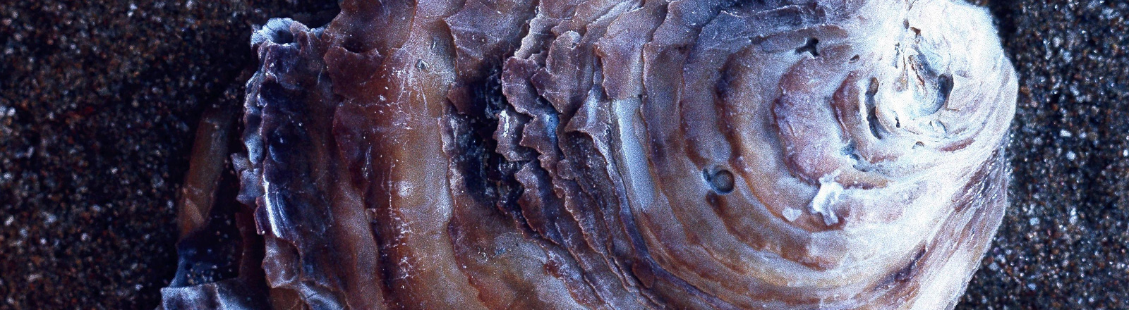 Europäische Auster (Ostrea edulis)