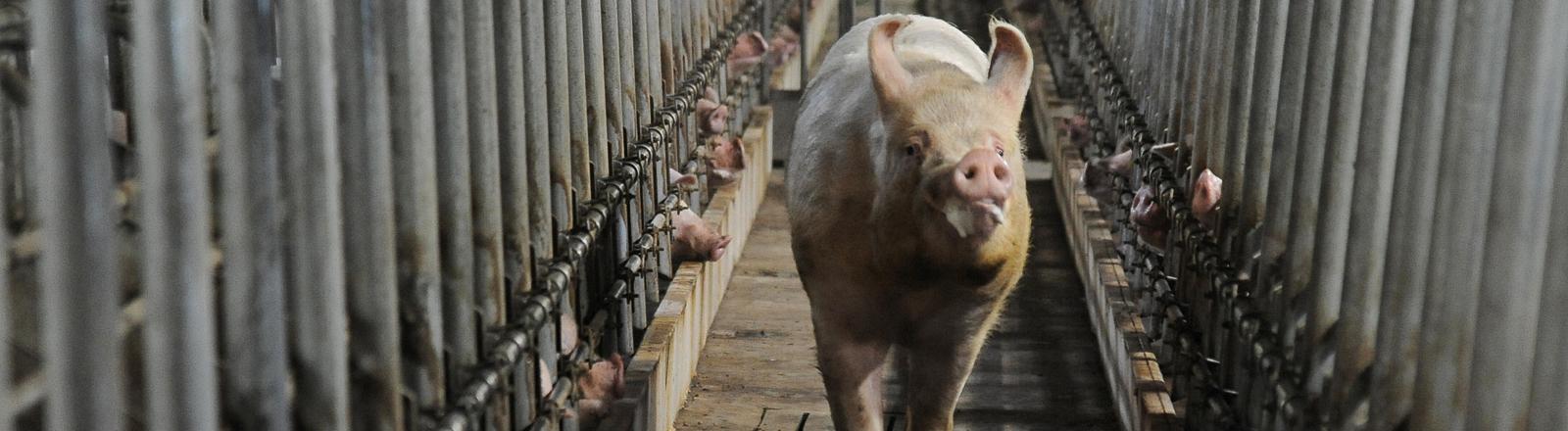 Schwein in einer Massentierhaltung