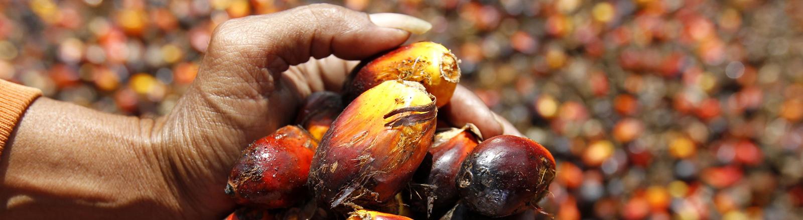 Eine Hand voll mit Früchten, aus denen Palmöl gewonnen wird.