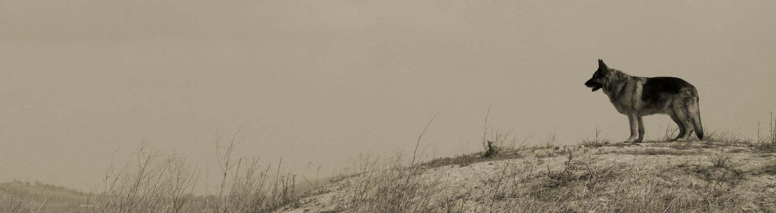 Ein Schäferhund steht auf einer Bergkuppe.