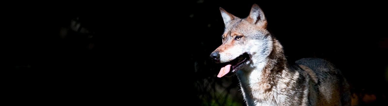 Ein freundlich dreinschauender Wolf lässt die Zunge aus dem Maul hängen; Bild: dpa