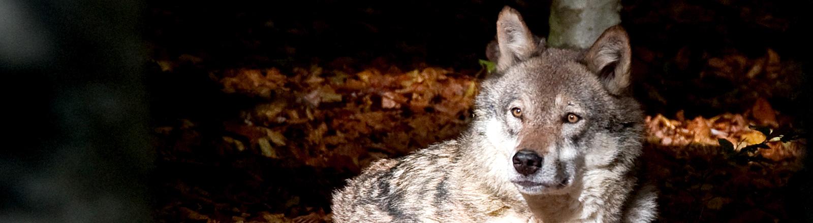 Ein Wolf blickt in die Ferne.