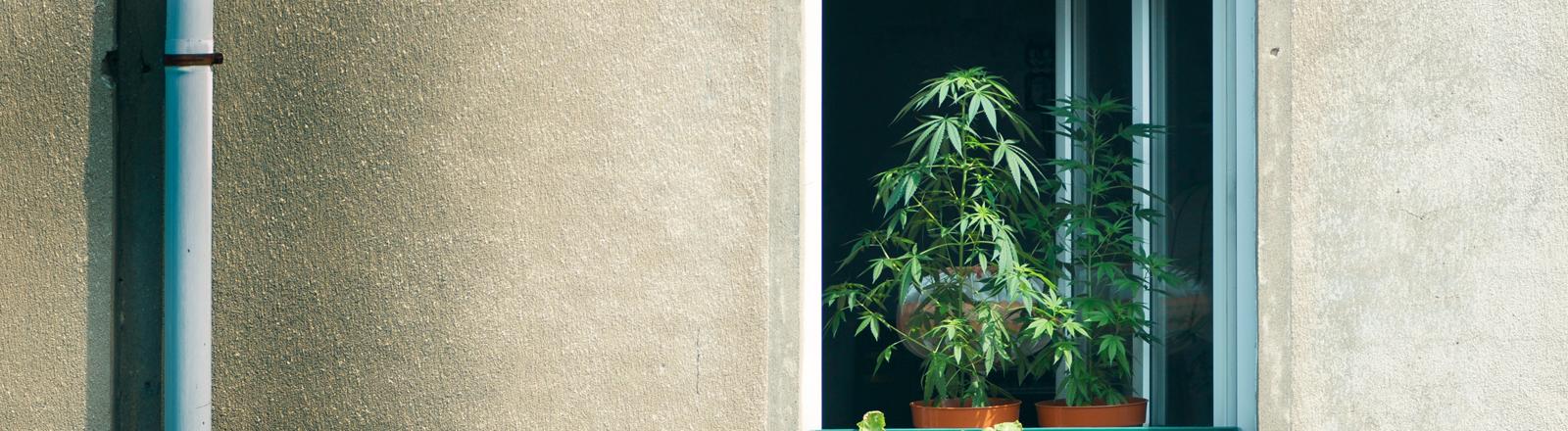Ein Fenstersims auf dem zwei Hanfpflanzen stehen.