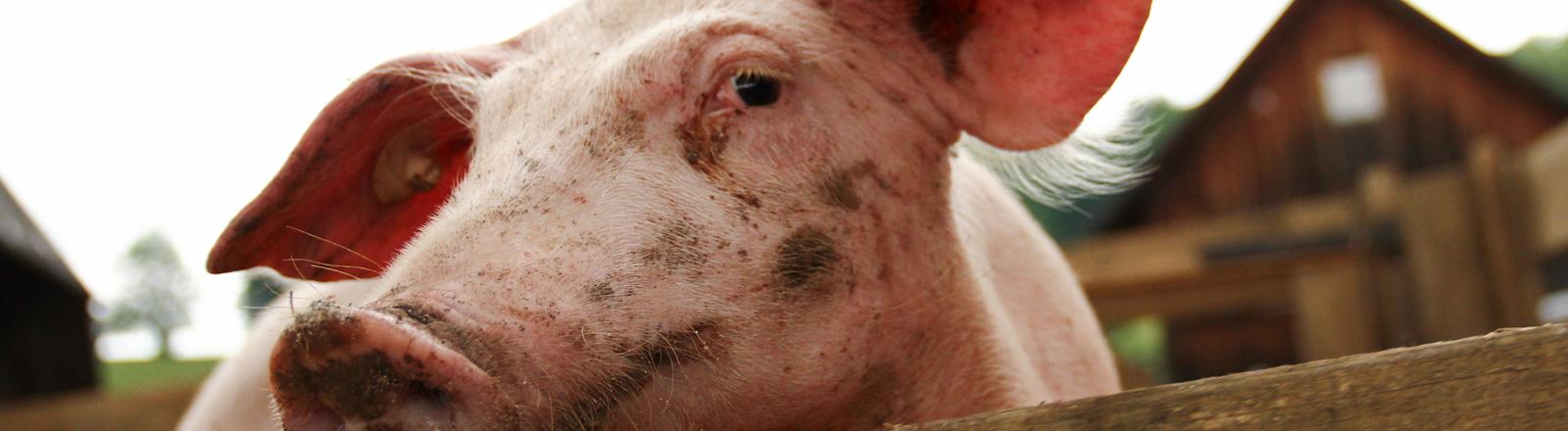 Ein Schwein hinter einem Holzgatter.