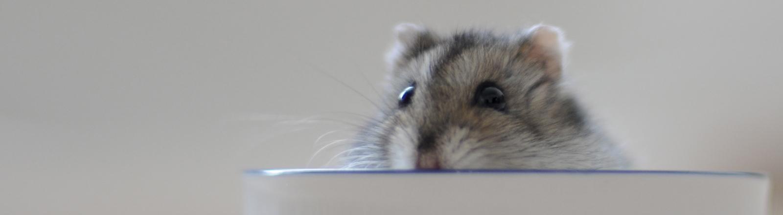 Ein Hamster, der aus einer Porzellantasse schaut.