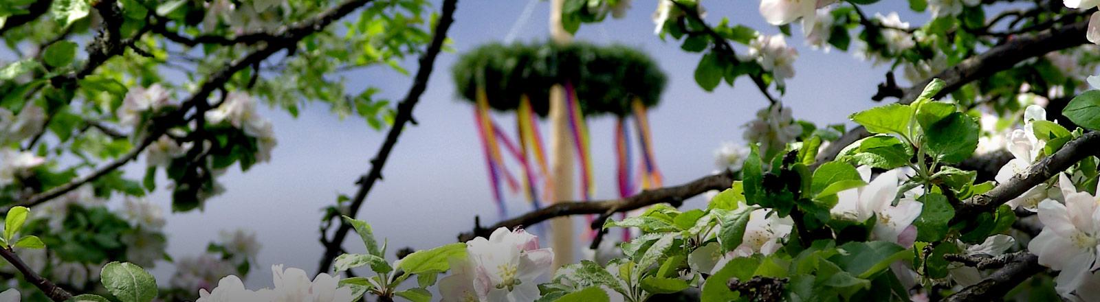 Ein Maibaum fotografiert durch einen blühenden Baum.