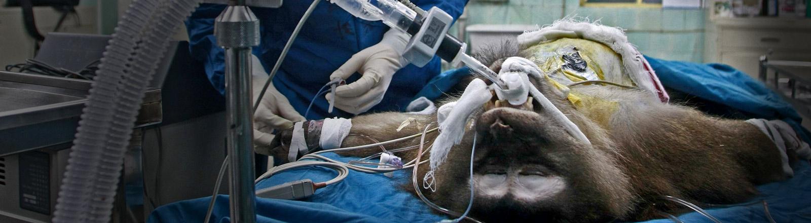 Ein Affe wird zu Versuchszwecken operiert.