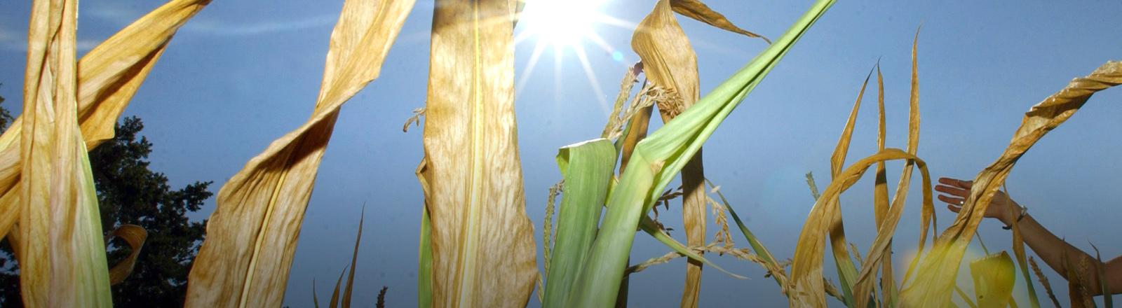 Vertrocknete Maispflanzen