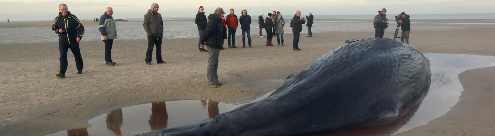 Toter Pottwal am Strand von Wangerooge