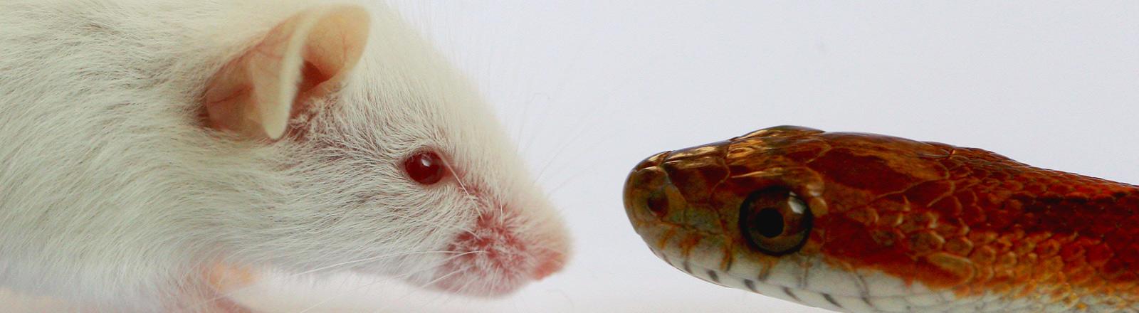 Eine Maus und eine Kornnatter stehen sich gegenüber.