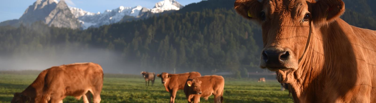 Kühe auf einer Weide in den Bergen